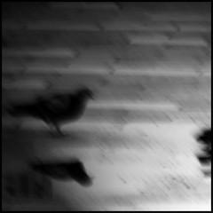 the pigeon ([zen52]) Tags: winner viewlarge palabra bitchesbrew bsquare mywinners bwgallery aplusphoto blackwhiteaward bwartaward ysplixblack neroameta blackartwhite musicsbest