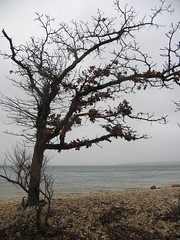 The Leaning Tree (backfirecptn) Tags: ny newyork tree beach water leaves rain bay suffolk sand hamptons rocks day wildlife branches longisland southampton morton sagharbor refuge jessup southfork the4elements mywinners noyack noyac mortonwildliferefuge suffolkcountry jessupsneck pineneck
