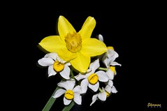20090313 180913 (Sherwan) Tags: white flower macro yellow photoshop flickr raw quality pixels erbil kurdistan arbil lightroom 18105 kurd sherwan d90 hewler irbil hawler hewlr nikond90   anuniverseofflowers