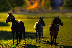 Group Pose (KY-Photography) Tags: ca autumn trees light sunset shadow red portrait horses horse sun ontario canada green fall nature beauty field grass fashion animal yellow backlight pose leaf raw mare dof action bokeh ky wildlife guelph models silhouettes nikkor khalid equine mane allrightsreserved kal foal uog sidelight friesians hbw capturenx nikond80 18135mmf3556g kyphotography equineguelph