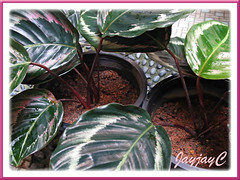 2 pots of newly planted Calathea roseo picta cv. 'Eclipse' (Prayer Plant, Rose Painted Calathea). Shot March 2009