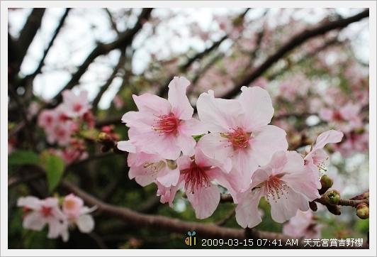 09.03.15 天元宮賞吉野櫻 (12)