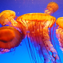 Orange nettles (StGrundy) Tags: ocean blue atlanta orange usa nature colors animals georgia nikon marine downtown neon jellyfish underwater unitedstates pacific south balloon highcontrast explore southern research glowing georgiaaquarium aquatic frontpage undersea climatechange husbandry seanettle globalwarming parachute tentacles nuisance aquaculture stinging chrysaorafuscescens explored fineartgallery d80 bej abigfave aperturef45 platinumphoto focallength28mm colorphotoaward flickrdiamond theunforgettablepictures pacificseanettle damniwishidtakenthat goldenheartaward ubej nikkor1855mmf3556gvr tropicaldivergallery exposure004sec