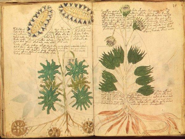 Manoscritto Voynich  Wikipedia