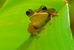 YO Yo yo, there's no place like green penthouse... so i told the (mattkruciak) Tags: animal mi treefrog southchinasea rã 105mmf28dmicro insingapore 2xtelepluspro300 mi–im goldentorch shootingwithd200 nikonr1ttlringlightflash heliconiapsittacorumxspathocircinatacv foundatmountfaber onheliconialeaf