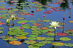 Lily Pond (janruss) Tags: waterlily lily explore lilies waterlilies wmp lilypond mywinners anawesomeshot colorphotoaward theperfectphotographer superperfectphotographer multimegashot 100commentgroup colorphotoawardbronze colorphotoawardsilver colorphotoawardgold janruss thenewselectbest lirodon janinerussell newgoldenseal