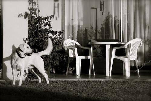 Lucas Bart - yellow Labrador Retriever photo