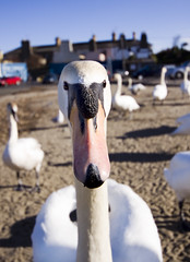 The Bird Is Curious....... (Michelle in Ireland) Tags: orange white black bird animal swan glare looking beak stare curious bray birdwatcher potofgold lotsofswans avianexcellence natureselegantshots thewonderfulworldofbirds thebestwaytoshootaswan