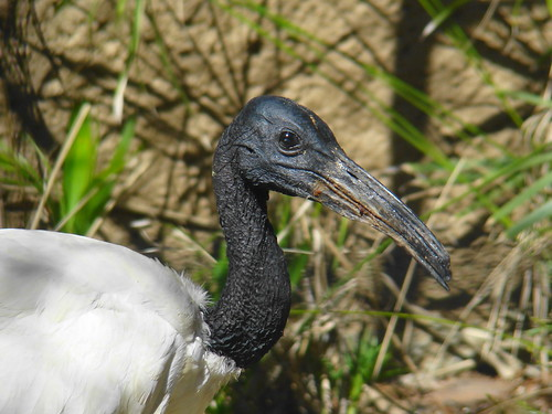 Sacred Ibis at the Los Angeles Zoo