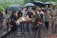 mail tiger 4 years old hit by fast train on15 july03 in kota rajasthan (cygnuskota) Tags: india tiger dolphins kota bigcats rajasthan brokentail ranthambhornationalpark nationalparksofindia riverchambal