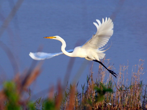Great Egret 3-20090402