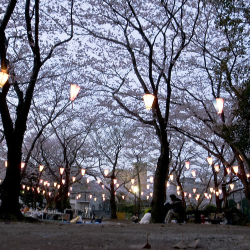 Cherry Blossoms, Drinking and Lanterns