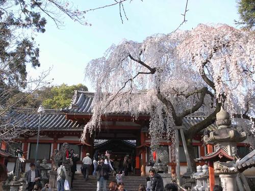 09-04-05【桜】@氷室神社-02