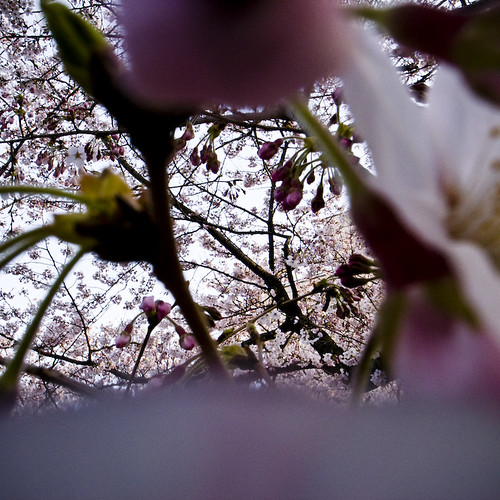 Through and Through the Cherry Blossoms