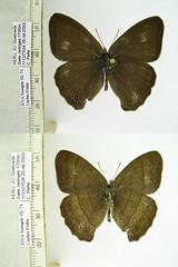 Yphthimoides