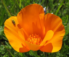 Poppy, insect