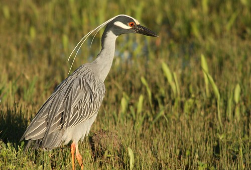 Yellow-crowned Night-Heron - 4/14/2009