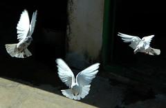 Peace (legends2k) Tags: leica birds lumix lyrics peace song panasonic hyderabad onblack birdinflight pegions mohammedrafi fz18 panasonicdmcfz18