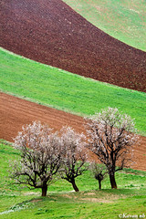 Spring flag (kavan.) Tags: brown tree green grass canon landscape spring iran blossom soil ear bloom iranian plow kurdistan sanandaj kavan kordestan 400d 70200lf4is