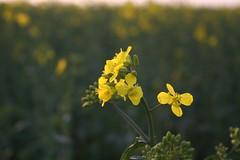 Rapeseed (Brassica napus) closeup