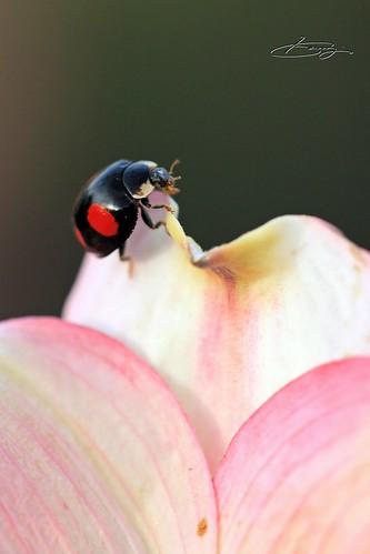 Dogwood and Ladybug