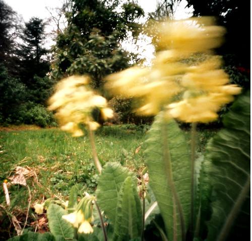 Cowslips at Culzean pinhole image