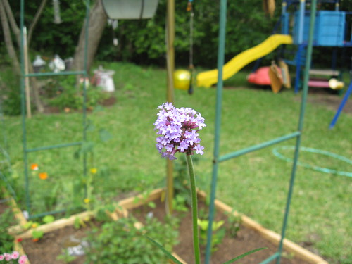 verbena flowerhead