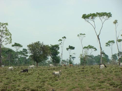Guatemalan cattle.