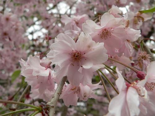 Japanische Kirschblüte 7