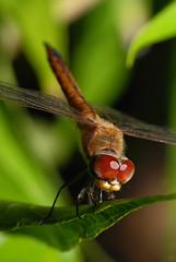 sleeping...zzz... (hock how & siew peng) Tags: macro closeup nikon singapore dragonfly insects 2009 d80 mmos 105mmnikkorlens hhsp hockhowsiewpeng 300409 hotrtpark