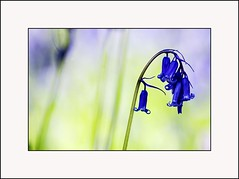Delicate Beauty - Scottish Bluebells  - Tayside Scotland (Magdalen Green Photography) Tags: blue green nature bluebells scotland cool tayside delicatebeauty coolgreen scottishbluebells dsc7578 calmnaturescene iaingordon