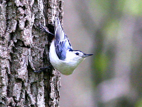 White-breasted Nuthatch 20090508