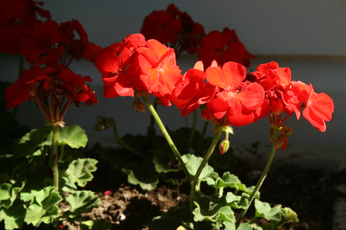 geraniums on the back step