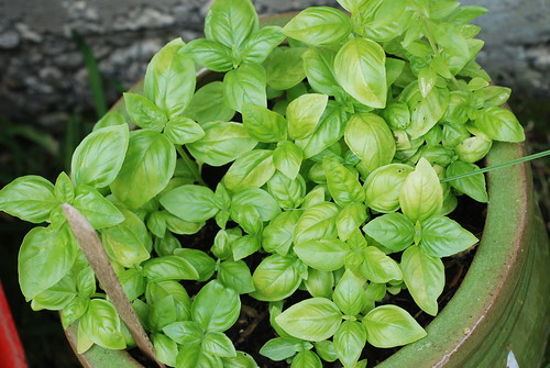 Organic Basil from seed by you.