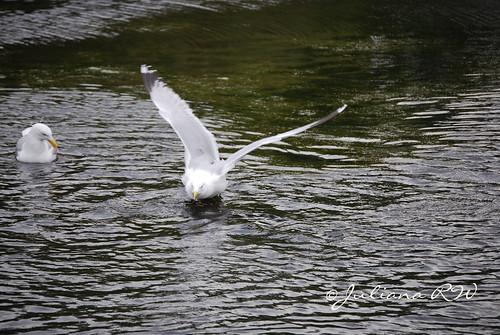 Seagull series