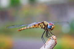 Blue Eyed Dragon (AgniMax) Tags: green nature canon dragonfly bokeh kerala 1855mm monday mothernature kochi naturephotography beautifulnature colorsofnature natureview naturepictures 1855mmlens natureimages naturewallpaper canoneos400d naturebackground amazingnaturepictures blueeyeddragon