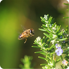 Bee Happy (Siana NZ) Tags: macro green nature insect flying dof bokeh bee bumblebee canoneos50d hggt