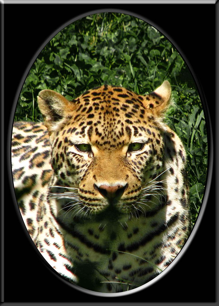 I mean - Leopard with oval frame