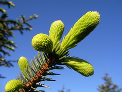 Fir trees sprouting