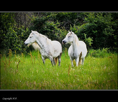 CamargueWeiePferde (H.P.1940) Tags: horses white france photo amazing nikon frankreich group pferde camargue the d300 weis nikkor55200mm greatshotss adobelightroom23 magicunicornverybest