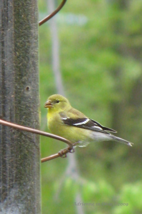 female goldfinch photo by Adrienne in Ohio