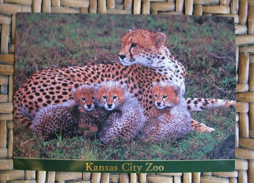 Cheetah cubs postcard