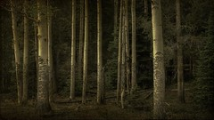 the forest (jssteak) Tags: trees pine forest dark landscape grove fir aspens rmnp deadwood textured 16x9 layered fauxvintage primevalforestgroups