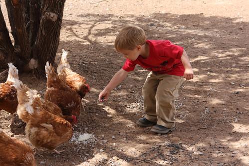 G'tums feeding chickens