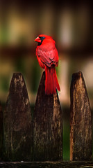 Cardinal (dbullens) Tags: red birds fence google dof cardinal bokeh worcester bigmomma aplusphoto thechallengefactory