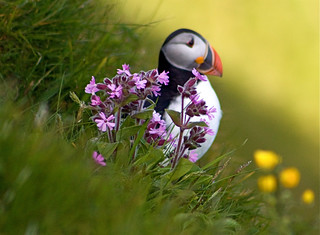 Puffin with flowers