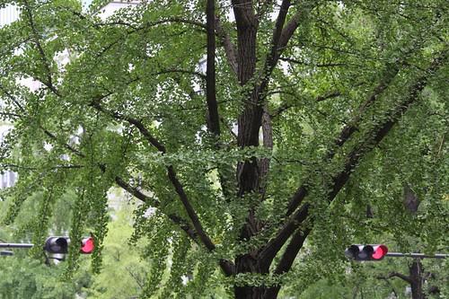 御堂筋のイチョウの木