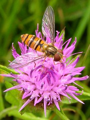 Hoverfly on knapweed (brockwatcher) Tags: insect hoverfly episyrphusbalteatus draycotemeadows
