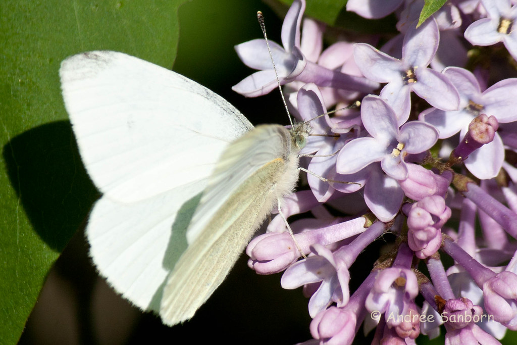 Cabbage White Butterfly (Papilio glaucus)-8.jpg