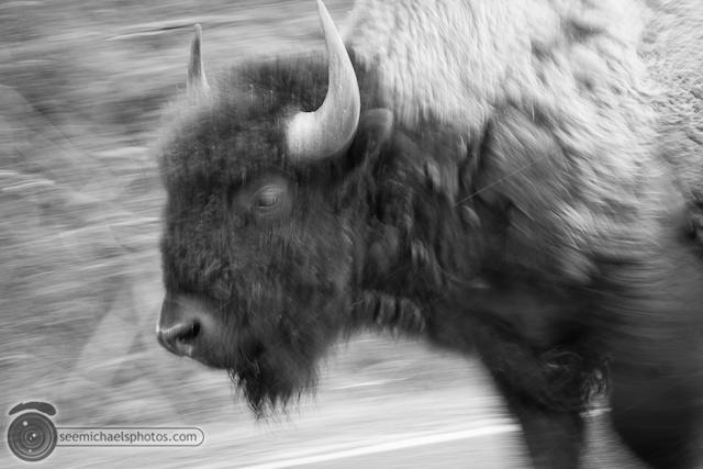 Yellowstone Day 1 52611 © Michael Klayman-051